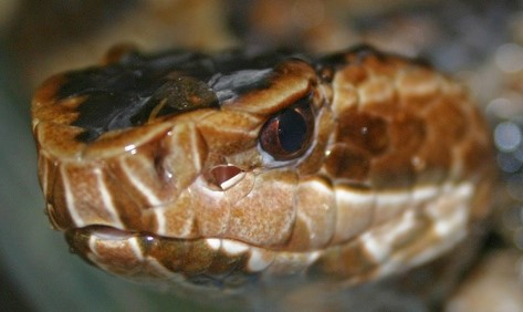 Upclose picture of cottonmouth snake