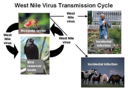 WNV Transmission Cycle