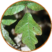 image of poison oak