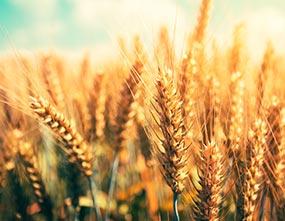 Beautiful wheat field on bright sunny summer day