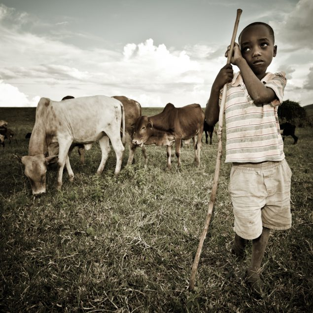 Boy in field with cattle