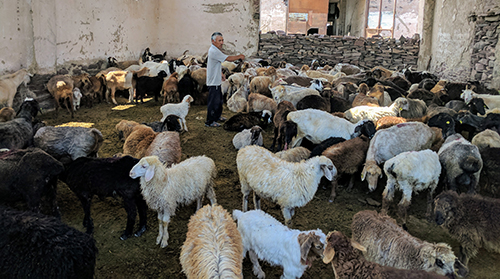 A local resident inspects his herd of sheep.