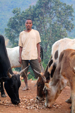 A Malagasy man tends to his zebu in a small village on the border of the Ranomafana National Park, Madagascar.