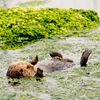 Sea Otter swimming on his back in water