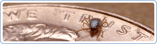 Nymphal stage of the Ixodes scapularis tick on the face of a penny. Ticks in this stage can transmit Babesia microti if infected and are usually the size of a poppy seed. Credit: Graham Hickling, University of Tennessee