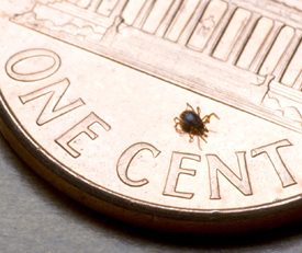 A nymphal stage <em>Ixodes scapularis</em> tick (about the size of a poppy seed) is shown here on the back of a penny. Credit: G. Hickling, University of Tennessee.