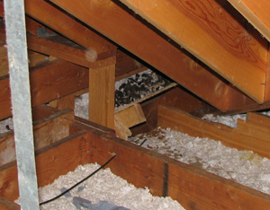 A racccoon latrine found in an attic. Courtesy of Dr. Shira Shafir.