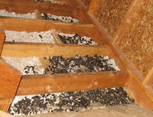 A close-up of raccoon feces found in an attic latrine. Courtesy of Dr. Shira Shafir.