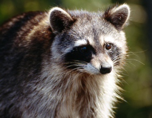 Raccoons are the primary, or definitive, host of <em>Baylisascaris procyonis</em>.
