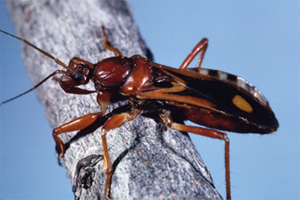 Image of an assassin bug.