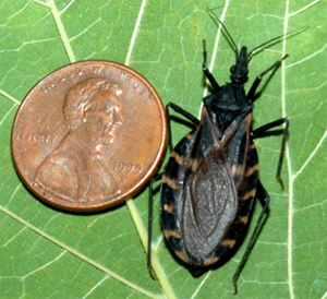 Triatoma gerstaeckeri next to a penny for scale. Photo courtesy S. Kjos.