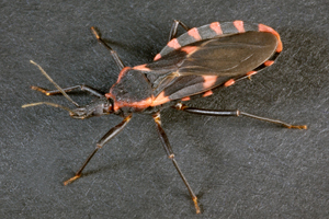 CDC - Chagas Disease - General Information - Vector Information