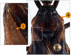 Close up of the thorax of Triatoma lecticularia. The photo highlights points 1 and 4 from the list of key characteristics.