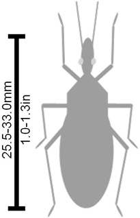 Silhouette of a generic Triatomine bug next to a scale. The scale says Triatoma recurva is 25.5-33.0mm (1.0-1.3in) long.