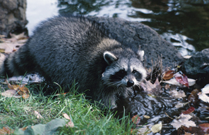 Image of a raccoon.
