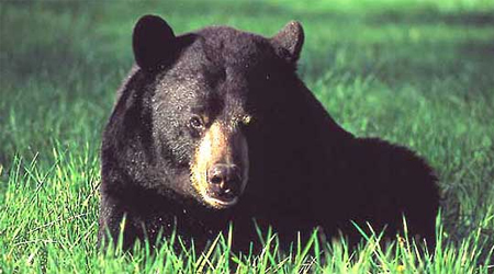 Image of a bear.