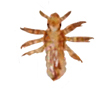 Head lice nymph