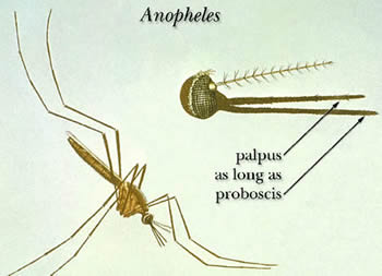 Many species in the genera <em>Anopheles</em> can transmit the infective larvae that cause lymphatic filariasis. Credit: CDC