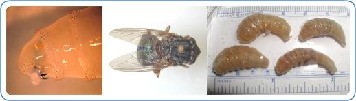 De izquierda a derecha: El primer del extremo anterior de una larva, mostrando las mandíbulas y uno de los espiráculos anteriores.  Adultos de Dermatobia hominis, la mosca robot humano.  Cuatro larvas de Dermatobia hominis, eliminado de un huésped humano.