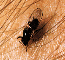Photo of a black fly.