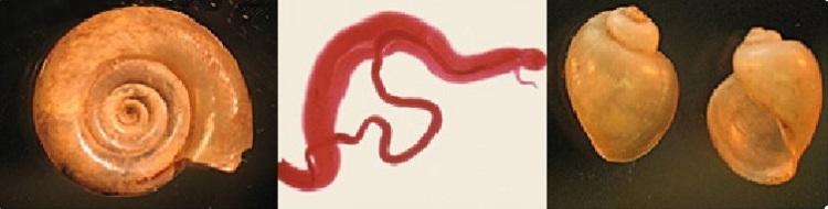 schistosomiasis worms suplimente dietetice pentru detoxifiere