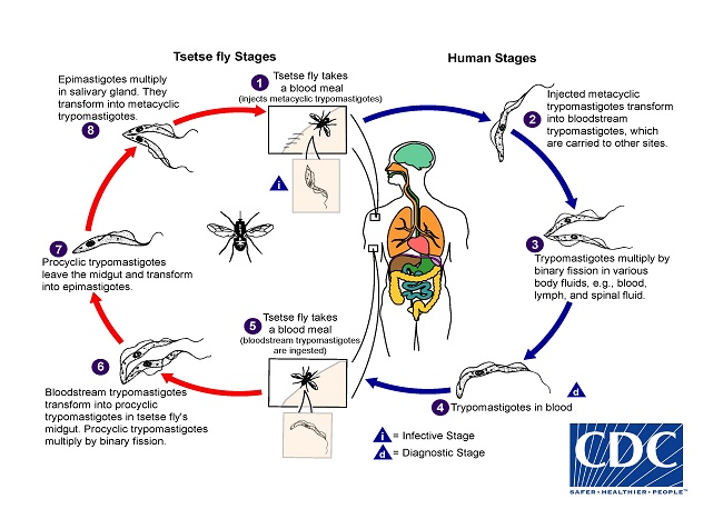 Cdc African Trypanosomiasis Biology