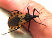 Traitomine bugs are the vectors for Chagas disease.