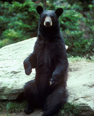 An Image of a black bear.