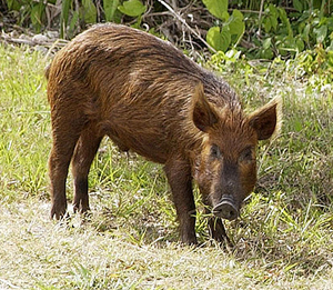 An Image of a wild hog.