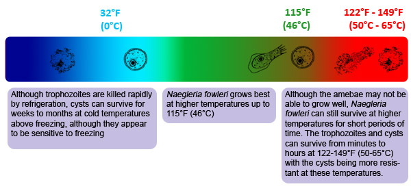 Temperature chart showing heat and cold tolerances for Naegleria fowleri cysts, trophozoites, and flagellated forms.