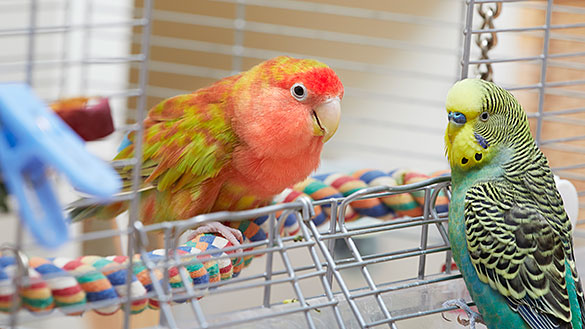 Parakeets sitting in a cage