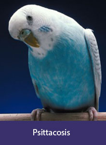 Parakeet, label: Psittacosis