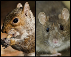 Image of squirrel and rat.