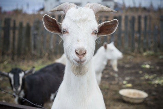 Image of a goat.