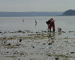 Clam digger on the Swinomish Indian Tribal Reservation.