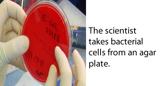 The scientist takes bacterial cells from an agar plate.