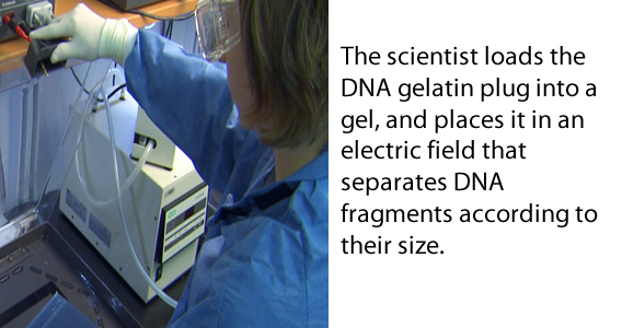 The scientist loads the DNA gelatin plug into a gel, and places it in an electric field that separates DNA fragments according to their size.