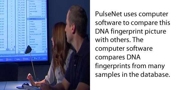 PulseNet uses computer software to compare this DNA fingerprint picture with others. The computer software compares DNA fingerprints from many samples in the database.