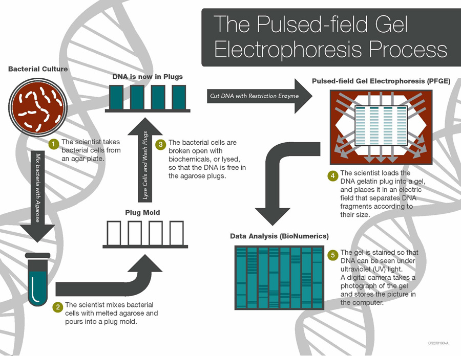 The Pulsed-field Gel Electrophoresis Process: (1)The scientist takes bacterial cells from an agar plate; (2)the scientist mixes bacterial cells with melted agarose before DNA is extracted from them; (3)the scientist loads the DNA gelatin plug into a gel, and (4)the gel is stained so that DNA can be seen under UV light.