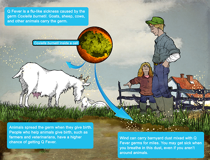 Q Fever is a flu-like sickness caused by the germ Coxiella burnetii.  Goats, sheep, cows, and other animals carry the germ.  Animals spread the germ when they give birth. People who help animals give birth, such as farmers and veterinarians, have a higher chance of getting Q Fever.  Wind can carry dust mixed with Q Fever germs for miles.  You may get sick when you breathe in this dust, even if you aren't around animals.