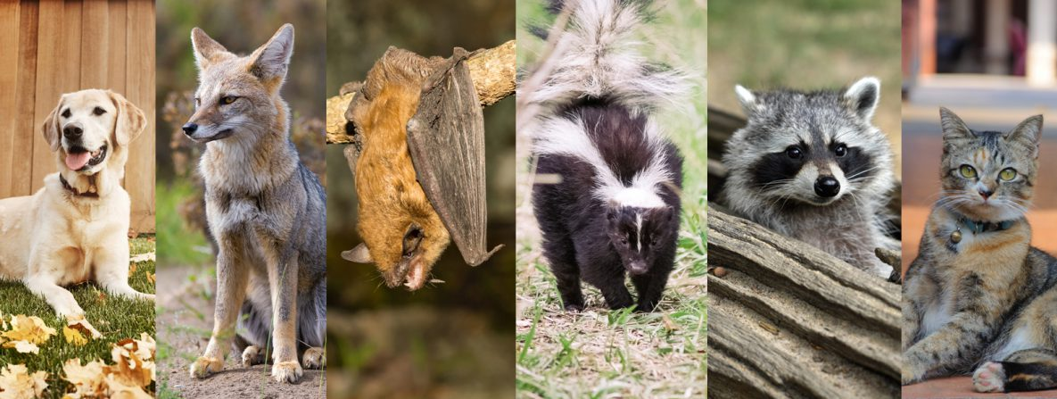 Rabies vectors include dogs, foxes, bats, skunks, racoons, and cats.