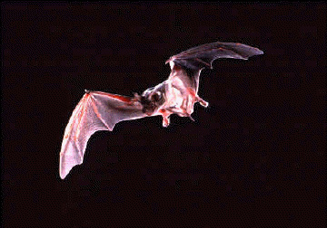 Mexican free-tailed bat flying in the air