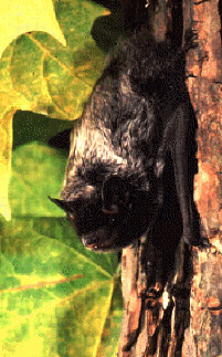 Silver-haired bat roosting on tree bark