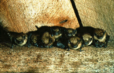 Group of brown bats hanging from a ceiling