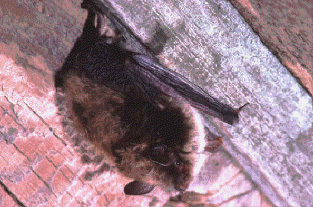 brown bat roosting in a barn
