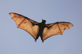 Bat flying in the air