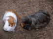 two guinea pigs on the ground