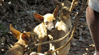 Imge of three dogs in haiti waiting for rabies vacine.