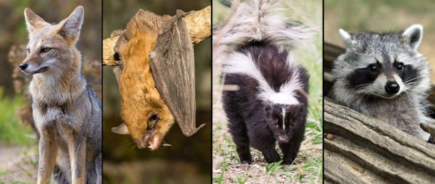 In the United States, rabies is mostly found in wild animals like bats, raccoons, skunks, and foxes (shown here).