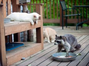 Raccoon stealing cat's food while two cats watch.